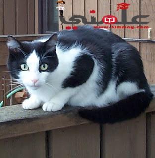 صورة سالت نفسك من قبل  كم صوت تصدرة القطة خلال موائها ؟